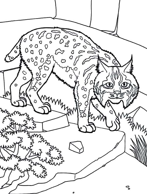 Bobcat, : Bobcat as House Pet Coloring Pages