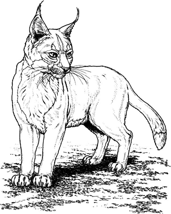 Bobcat, : Bobcat is Standing Coloring Pages
