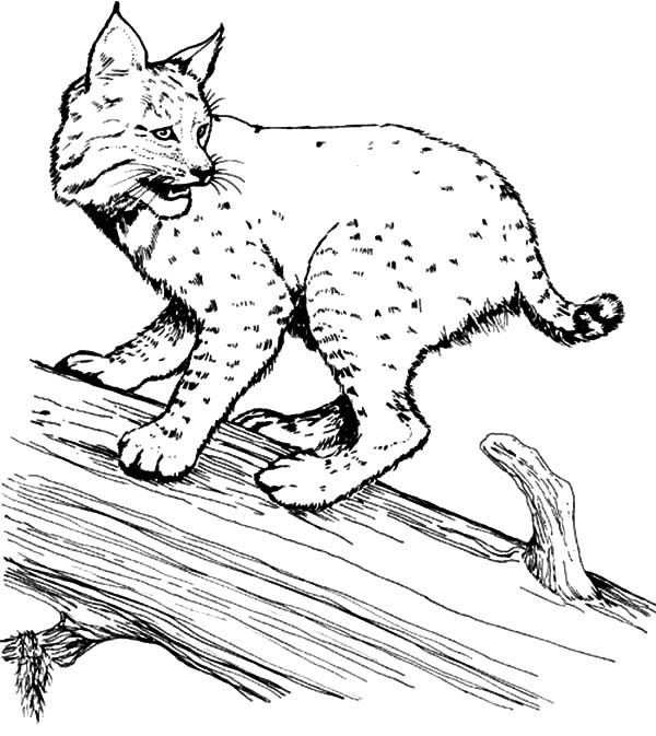 Bobcat, : Bobcat on a Tree Coloring Pages