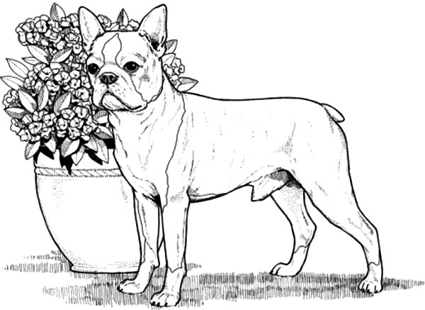 boston terrier coloring pages to print | Boston Terrier Boxer Dog Coloring Pages: Boston Terrier ...