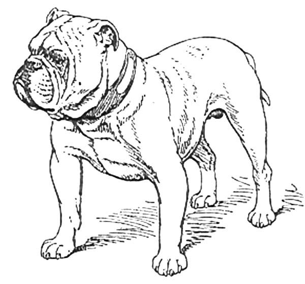 Boxer Dog, : Boxer Dog Stand Guard Coloring Pages