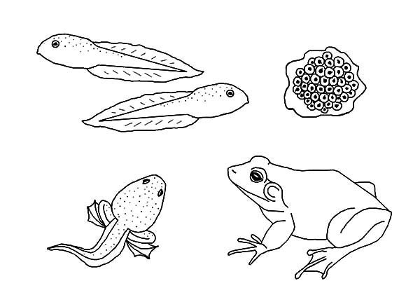 Bullfrog life cycle coloring page best place to color for Frog life cycle coloring page