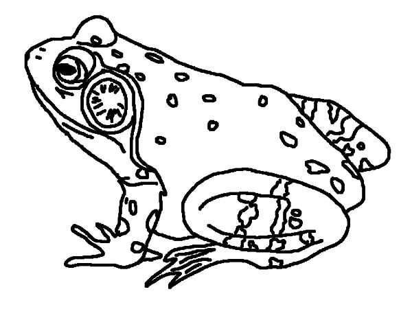Bullfrog, : Bullfrog Singing Coloring Pages