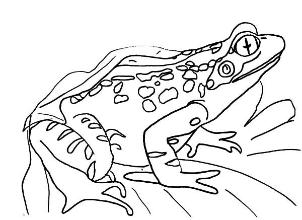 Bullfrog, : Bullfrog Sitting on a Leaf Coloring Pages