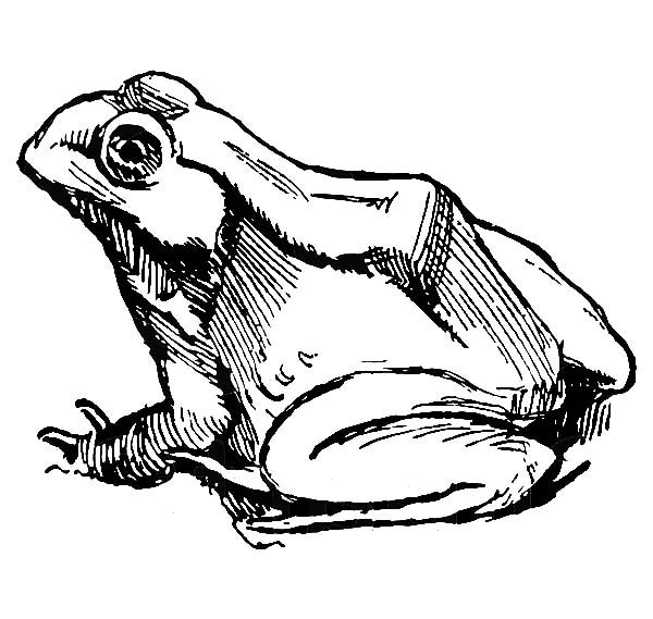 Bullfrog, : Bullfrog Sketch Coloring Pages