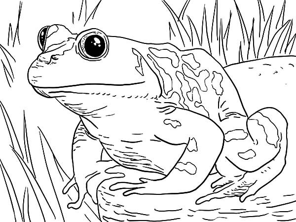 Bullfrog, : Bullfrog Waiting in the Swamp Coloring Pages