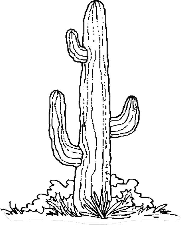 Cactus, : Cactus Picture Coloring Pages