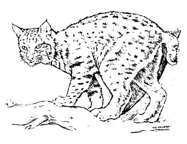 Bobcat, : Cautious Bobcat Coloring Pages