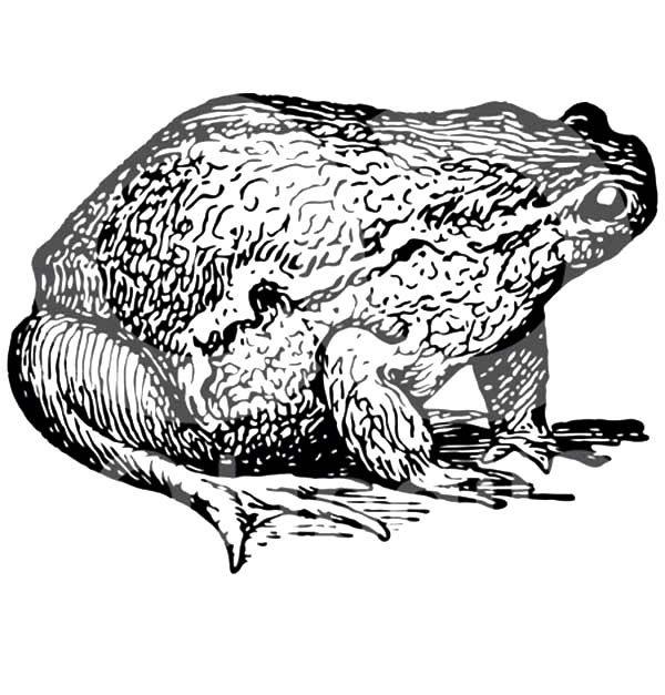 Bullfrog, : Chubby Bullfrog Coloring Pages