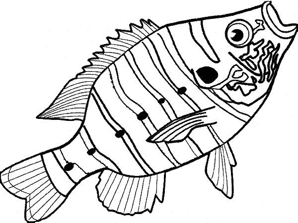 Bass Fish, : Delicious Bass Fish Coloring Pages