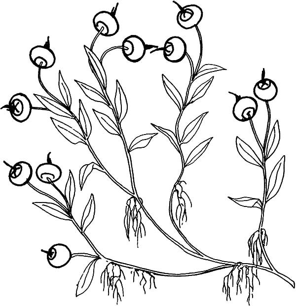 Blueberry Bush, : Delicious Fruit Blueberry Bush Coloring Pages