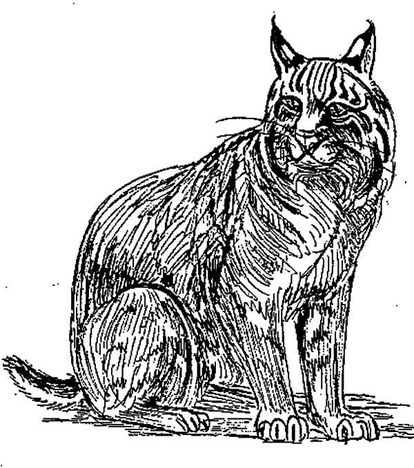 Bobcat, Drawing Bobcat Coloring Pages: Drawing Bobcat Coloring PagesFull Size Image