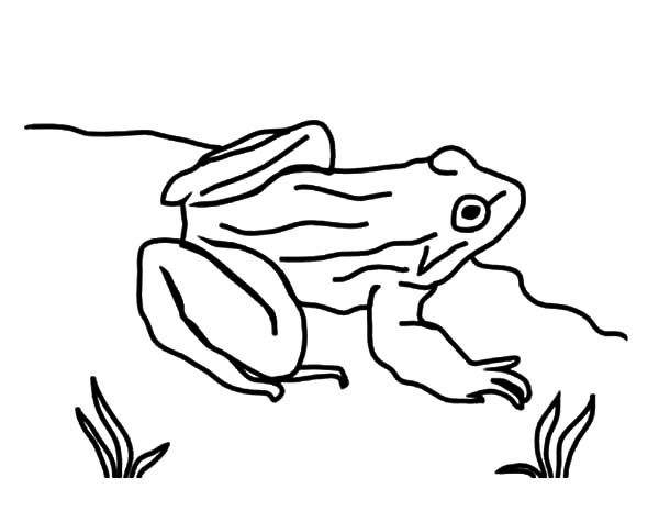 Bullfrog, : Drawing Bullfrog Coloring Pages
