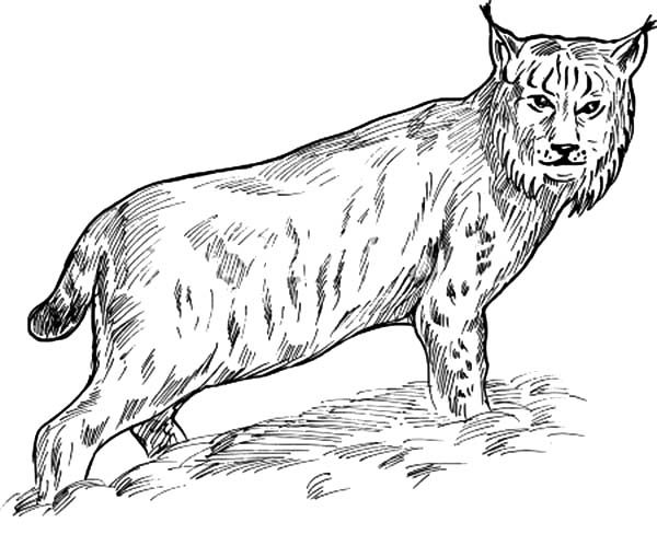 Bobcat, : Eurasian Lynx Bobcat Coloring Pages