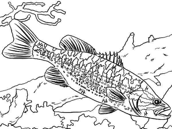 Bass Fish, : Guadalupe Bass Fish Coloring Pages
