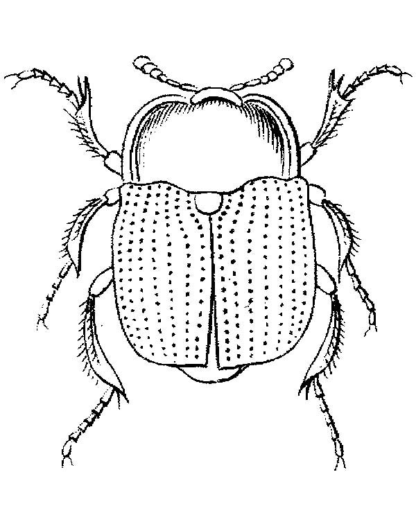Beetle, : Hairy Feet Beetle Coloring Pages