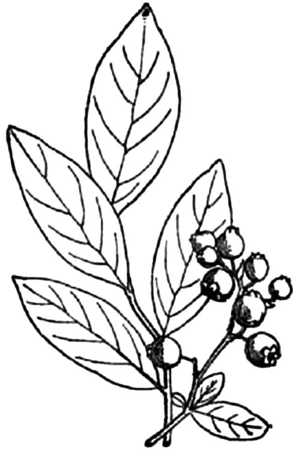 Blueberry Bush, : How to Draw Blueberry Bush Coloring Pages