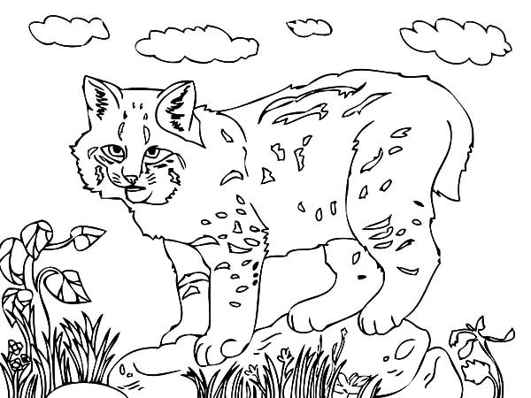 Bobcat, : How to Draw Bobcat Coloring Pages