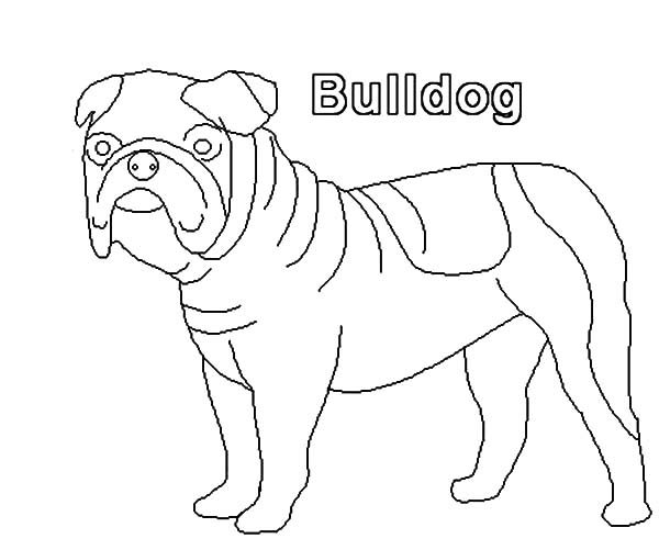 Bulldog, : How to Draw Bulldog Coloring Pages
