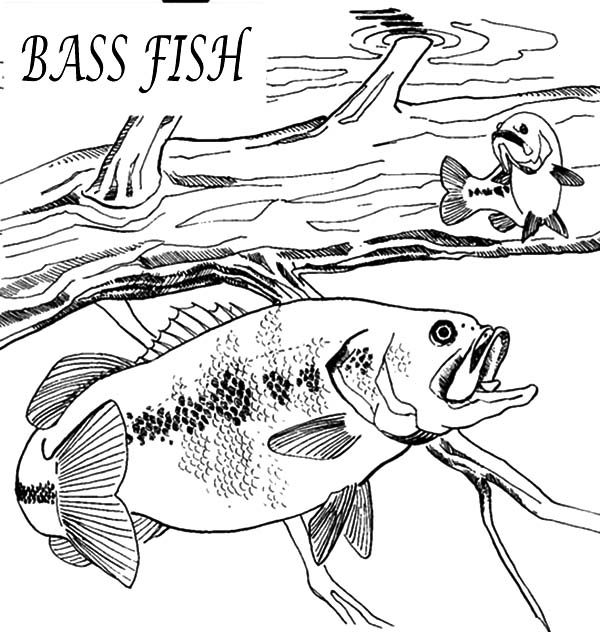 Bass Fish, : Hungry Bass Fish Coloring Pages