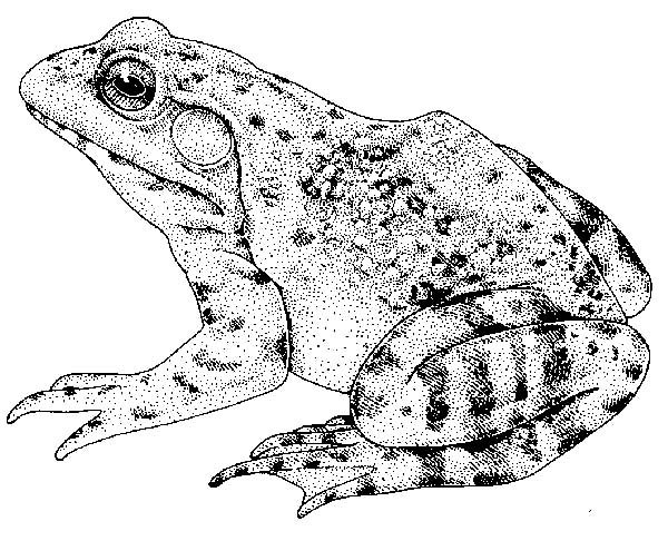 Bullfrog, : Hungry Bullfrog Coloring Pages
