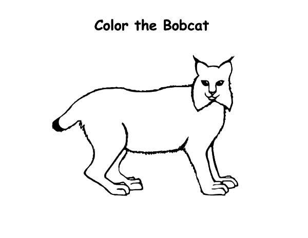 Bobcat, : Kids Drawing Bobcat Coloring Pages