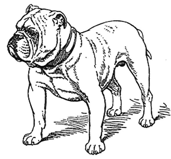 Old Bulldog Coloring Pages | Best Place to Color