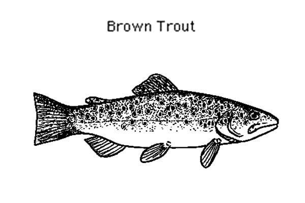 Apache Trout, : Picture of Brown Apache Trout Coloring Pages