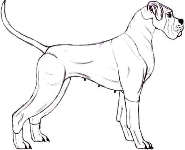 Boxer Dog, : Police Boxer Dog Coloring Pages