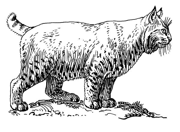 Bobcat, : Pregnant Female Bobcat Coloring Pages