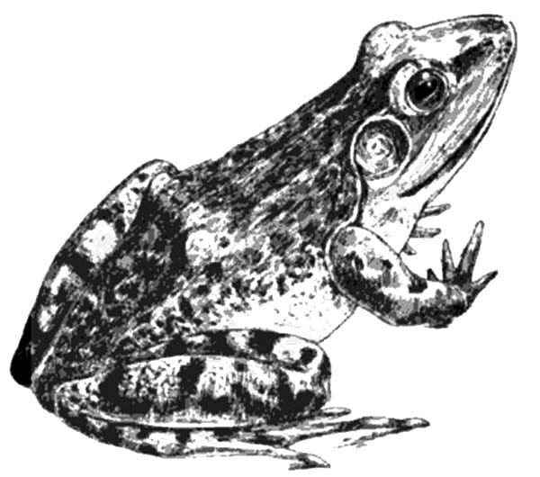 Bullfrog, : Realistic Bullfrog Picture Coloring Pages