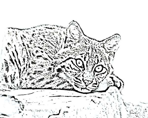 Bobcat, : Scary Eyes Bobcat Coloring Pages