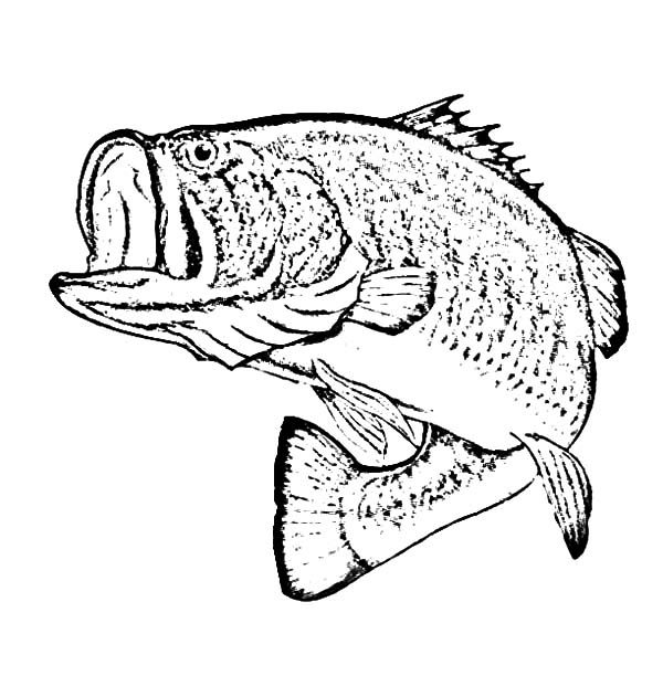 Bass Fish, : Sketch of Bass Fish Coloring Pages