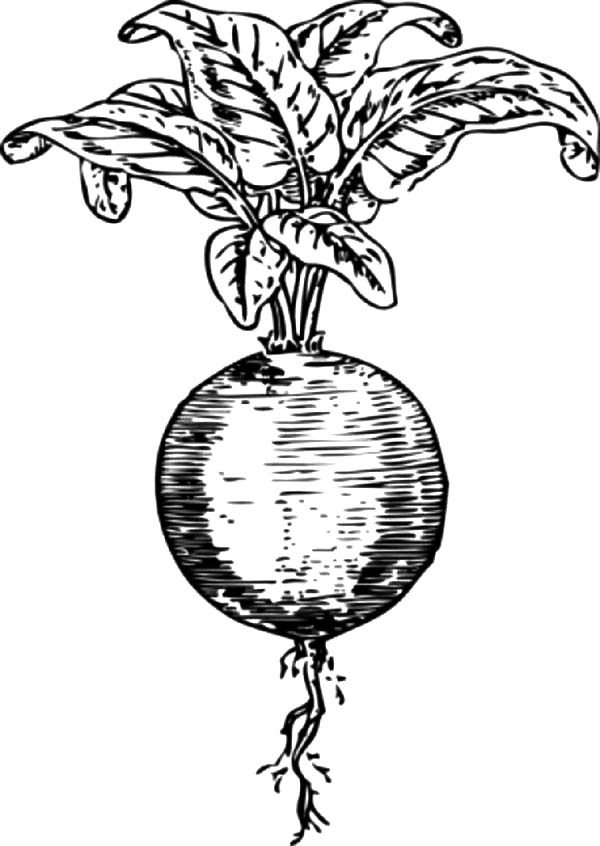 Beets, : Sketch of Beets Coloring Pages
