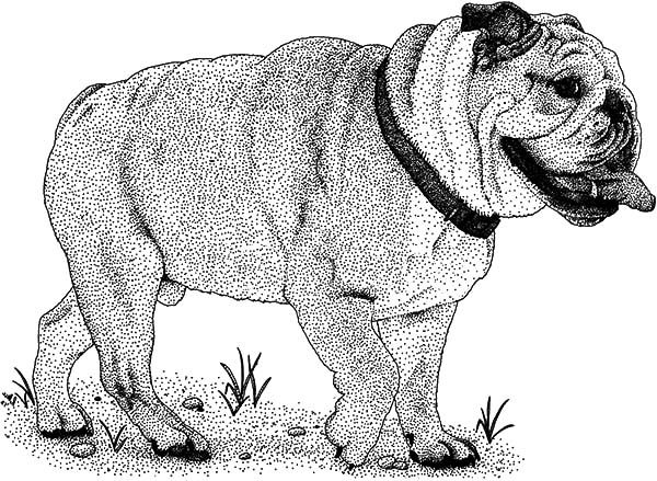 Bulldog, : Sketch of Bulldog Coloring Pages