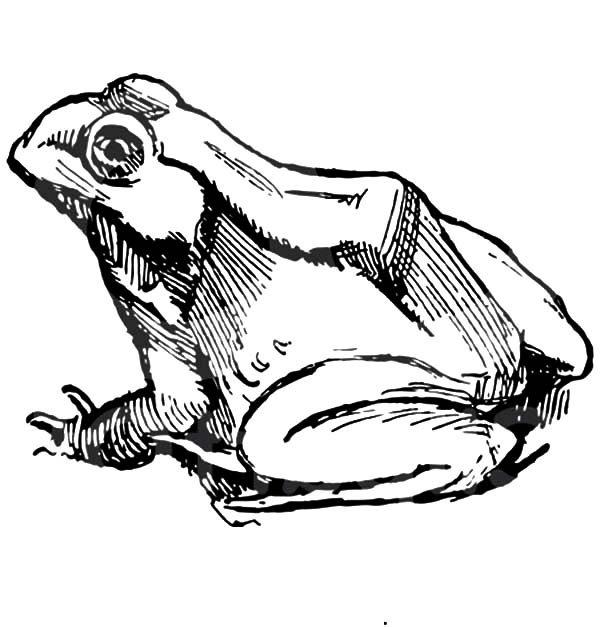 Bullfrog, : Sketch of Bullfrog Coloring Pages