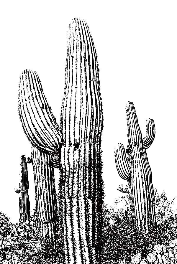 Sketch of cactus coloring pages best place to color for Cactus coloring page