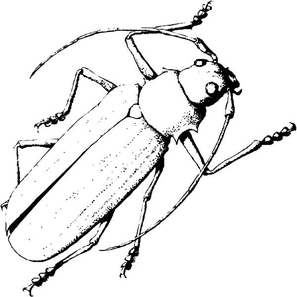 Beetle, : Sketch of Long Horn Beetle Coloring Pages