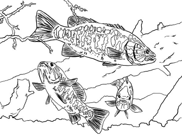 Bass Fish, : Smallmouth Bass Fish Coloring Pages