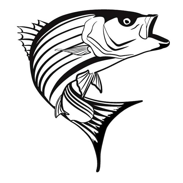 Bass Fish, : Striper Bass Fish Coloring Pages