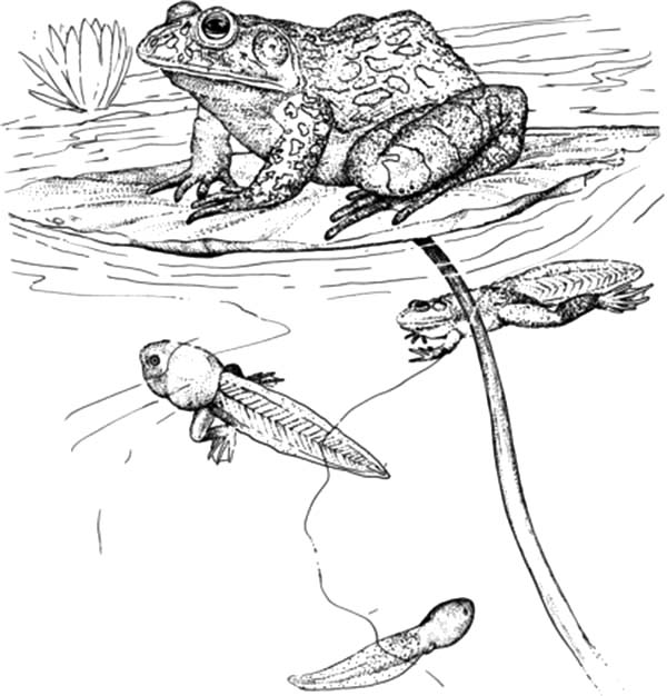 Bullfrog, Tadpoles and Bullfrog inn the Pond Coloring Pages: Tadpoles And Bullfrog Inn The Pond Coloring PagesFull Size Image