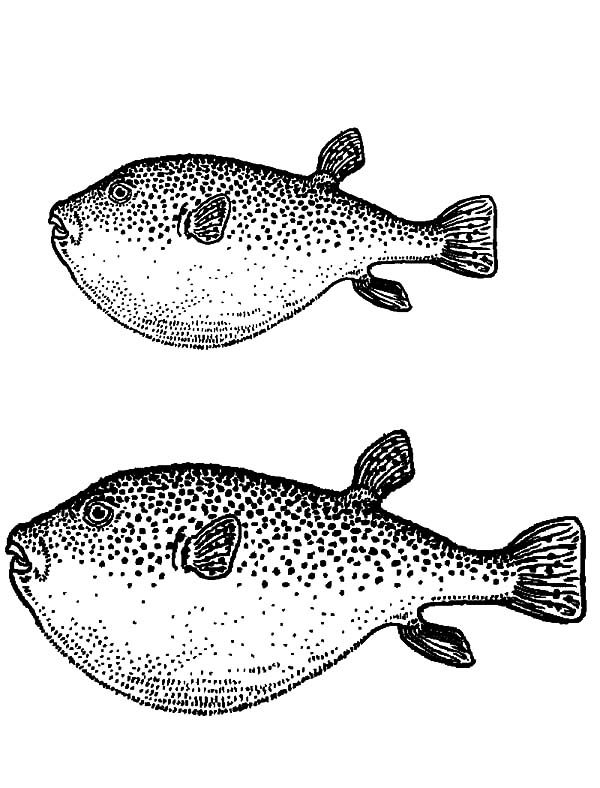 Blowfish, : Two Blowfish Coloring Pages