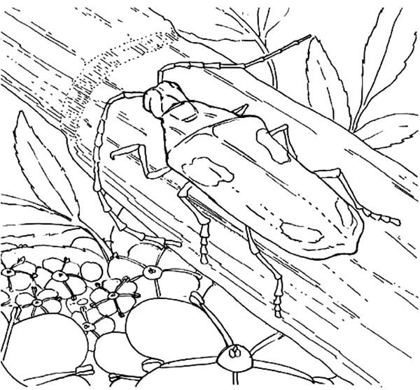 Beetle, : Valley Elderberry Longhorn Beetle Coloring Pages