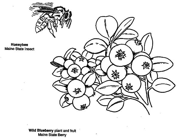Blueberry Bush, : Wild Blueberry Bush Coloring Pages
