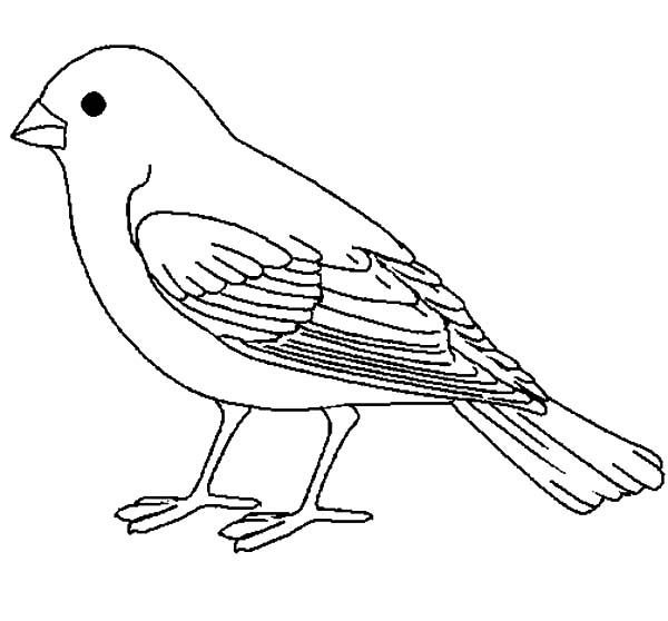 Canary Bird, : Canary Bird Coloring Pages