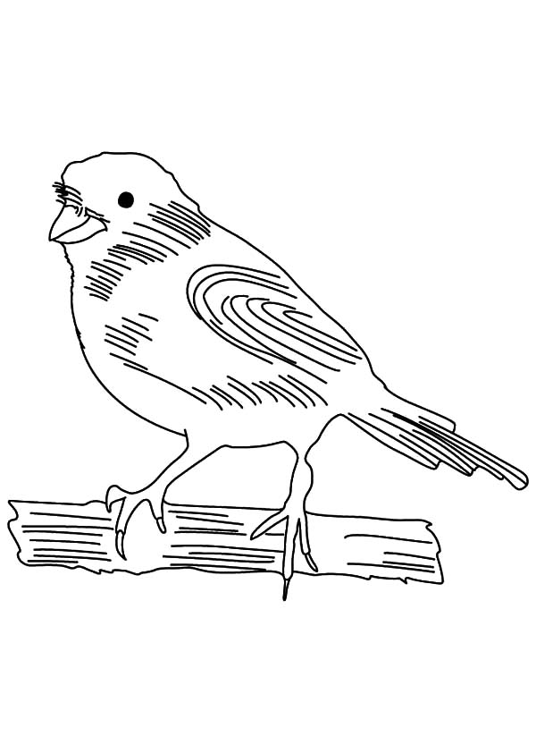 Canary Bird, : Canary Bird Sketch Coloring Pages