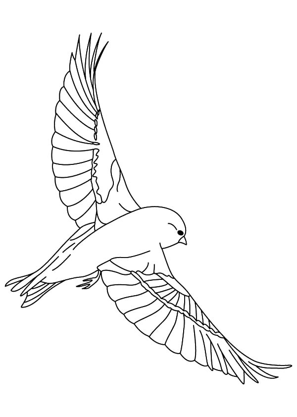 Canary Bird, Canary Bird Spread His Wing Coloring Pages: Canary Bird Spread His Wing Coloring Pages