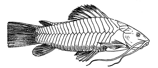 Catfish, : Catfish Coloring Pages for Kids