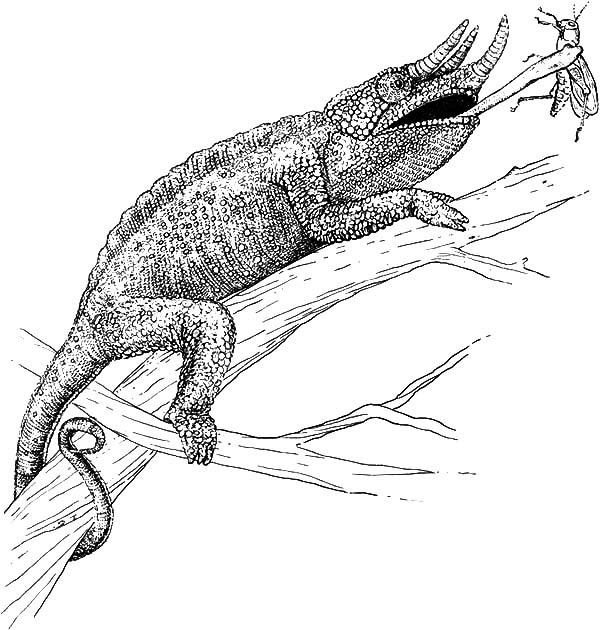 Chameleon, : Chameleon Catch Grasshopper Coloring Pages