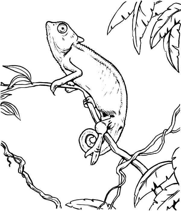 chameleon coloring pages chameleon coloring pages for chameleon coloring chameleon coloring pages printable - Chameleon Coloring Pages Printable